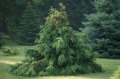 Norway Spruce, Picea Abies Acrocona