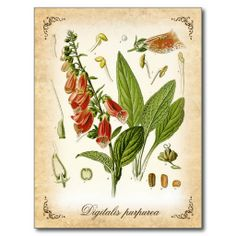 >>>Order          Common Foxglove - vintage illustration Postcards           Common Foxglove - vintage illustration Postcards In our offer link above you will seeHow to          Common Foxglove - vintage illustration Postcards Review on the This website by click the button below...Cleck Hot Deals >>> http://www.zazzle.com/common_foxglove_vintage_illustration_postcards-239689538818268594?rf=238627982471231924&zbar=1&tc=terrest
