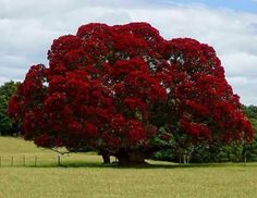 New Zealand Christmas Tree Seeds 12 Seeds Dense canopy of Trees And Shrubs, Flowering Trees, Trees To Plant, Beautiful Landscapes, Beautiful Gardens, Beautiful Flowers, Unique Trees, Colorful Trees, Flower Pot Design