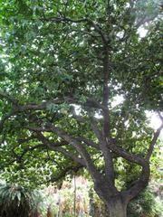 Terminalia catappa - Plant Finder. Sea Almond, Tropical Almond tree, zone 10-11