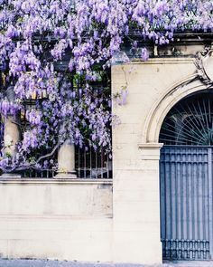 My favorite season is the season of the wisteria. Those first bunches more exposed to the sun will swell the color purple. While others climbing up the trellis shade exposed are a bit 'late. The bees are already eating from dawn run off a flower for breakfast from insect weight lowers whole bunch of wisteria and buzzes away.