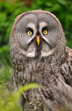 Great grey owl by Tambako the Jaguar, via Flickr