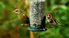 Um zwölf gebbt gess.  ...  Auch wenn es jetzt kälter wird. Umso mehr Futterstationen brauchen unsere Gartenvögel. Denkt dran. :-)