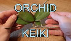 This is a short video showing you how to repot an Orchid Keiki from a Phalaenopsis orchid. This Phalaenopsis orchid also has a couple of partial keiki's whic...