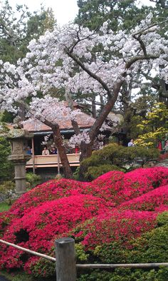 Cherry blossoms in bloom at Japanese Tea Garden in Golden Gate Park