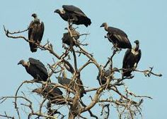vultures - Google Search
