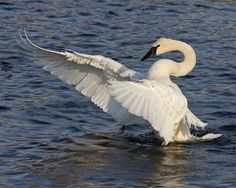 This photograph of a displaying Trumpeter Swan was captured on the Mississippi River in Monticello,