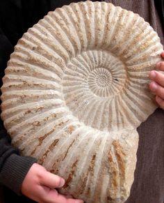 ammonite - Google zoeken                                                       …