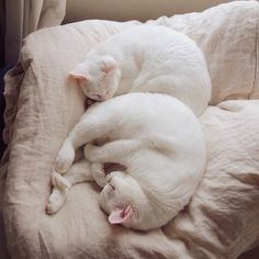 る Beautiful Cats, Animals Beautiful, Love Pet, I Love Cats, Animals And Pets, Cute Animals, Soft Kitty Warm Kitty, Lots Of Cats, Cat Sleeping