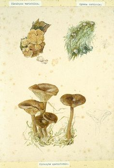 Beatrix Potter: A study of fungiPerth Museum and Art Gallery has a collection of 25 fungi studies by Beatrix Potter, the well known creator of The Tale of Peter Rabbit. Painted in watercolours in the 1880s and 1890s, these detailed studies give an insight into Potter's skills in observing the natural world. This understanding of nature was to give a solid base to her illustrations for her Little Books for children.