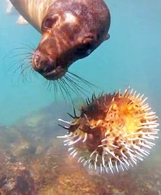 1000 images about seahorse and pufferfish on pinterest for Blowfish vs puffer fish