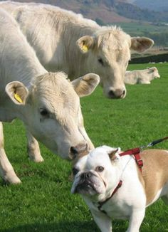 ❤ MOM WE HAVE A PROBLEM HERE ! This cow thinks I'm HERS! #englishbulldog