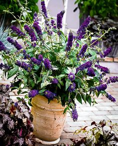 Asian Moon Butterfly Bush | The Tree Center™️ Tall Shrubs, Trees And Shrubs, Trees To Plant, Dwarf Butterfly Bush, Butterfly Tree, Light Purple Flowers, Summer Flowers, Asian Moon, Landscape Design