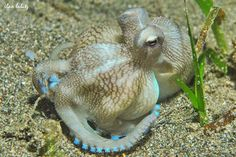 Veined Octopus (Octopus marginatus)