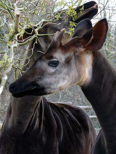 28 Best Okapi Images Okapi Giraffes Wildlife