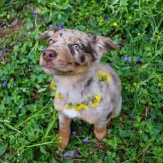 Cattle Dog with Dandelions