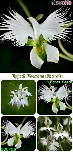 Japanese Egret Flowers Seeds White Egret Orchid Seeds Radiata Rare White Orchid Home Garden Unusual Flowers, Unusual Plants, Exotic Plants, Amazing Flowers, Orchid Seeds, Flower Seeds, Cactus Flower, Flower Plants, Tropical Flowers