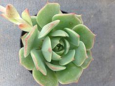 Succulent Plant,Echeveria Ramillete