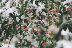 Berries on branches in snow