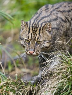 ❥ | Walking fishing cat | This is the only photo of the fishing cat, but I like it because of the vegetation around...
