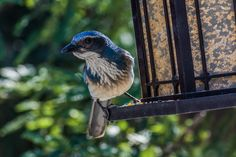"Under Control--  Scrub Jay: ""Well, yes, I have been busy keeping the squirrels away from the feeder.  Little rascals will eat it all!  Me?  Oh, no.  I don't touch the stuff!  Excuse me a moment.  I seem to have something lodged in my throat!"""
