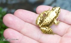 Gold tree frog