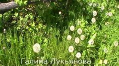 Одуванчики. Очень красиво. Смотрите. Dandelions. Very nice. See.