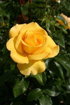 Keep Smiling ~ Hybrid Tea Rose