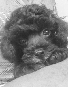 Sweet Poodle Puppy ♡ Toy Poodle Puppies, Baby Puppies, Dogs And Puppies, Toy Poodles, Maltese Dogs, French Dogs, French Poodles, Pet Dogs, Doggies