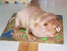 A bald Beaver???
