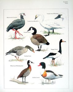 Items similar to Birds - Black Necked Screamer, Tundra Swan, Canada Goose, Shelduck - Vintage Bird Book Plate Page on Etsy Types Of Animals, Animals Of The World, Animals And Pets, World Birds, All Birds, Bird Identification, Bird Book, Wild Creatures, Animal Posters