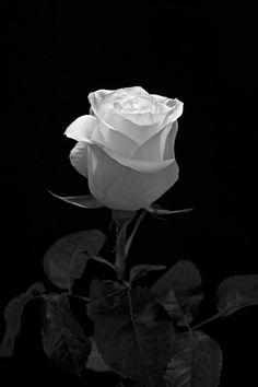 Black And White Roses, Black And White Aesthetic, Black And White Pictures, White Art, Black Flowers, Snow White, Flower Phone Wallpaper, Flower Wallpaper, White Roses Wallpaper