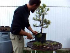 Nick Mansell of Blekinge Bonsai & Garden Centre in Sweden, wires his first white pine.
