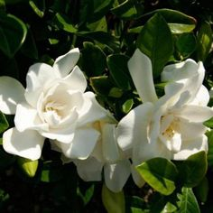 Free 2-day shipping on qualified orders over $35. Buy Jubilation Gardenia at Walmart.com