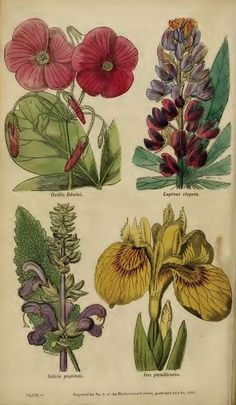 "Plate from Joseph Harrison's ""The Floricultural Cabinet and Florist's Magazine""1833.  Orlando Jewitt (1799-1869).  http://www.biodiversitylibrary.org/item/53991#page/11/mode/1up  Image and text Wikimedia."