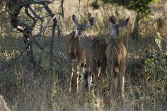 's Middags ga ik vanuit Chongwe op game drive. Ik zie leeuwen, olifanten, diverse antilopensoorten en zebra's. #Zambia #Antilopen