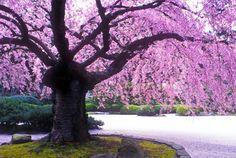 photo-1 Weeping tree