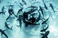 scuba diver swimming with sharks