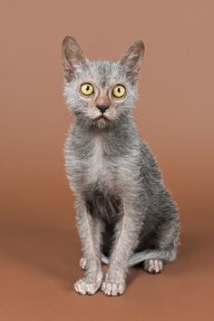 """the wolf cat - the lykoi Signs That Your Cat Might Be Stressed"""" Though we are a Maine Coon site, stress is a serious issue for any cat which is why this article is not specific to our featured breed. Kittens Cutest, Cats And Kittens, Lykoi Cat, Werewolf Cat, Cat Pee, Cats For Sale, Cat Drawing, Drawing Tips, Cat Behavior"""