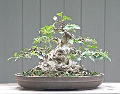 ֍☺Some #bonsai inspiration for today!♣☺ #BonsaiInspiration