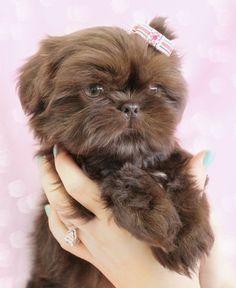 Beautiful Shih Tzu puppy