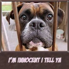 Of course you are! #dogs #pets #Boxers Facebook.com/sodoggonefunny........love