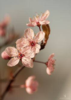 Peaceful afternoon cherry blossoms | vicinity studio