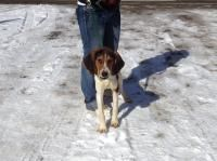 Treeing Walker Coonhound mix M named Toby in Elkins, WV @ Randolph County Humane Society