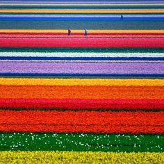 Tulpanfält i Nederländerna