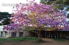 Purple Trumpet Tree: 12-18 ft height, 10-15 ft spread, full sun, low water requirement.
