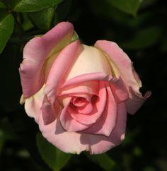 Rosa 'Falling in Love' (U.S., 2006)