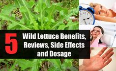 """Wild Lettuce is an herb which is not considered a vegetable like the common green lettuce. Wild lettuce is more popular for its """"opium-like"""" effects due to its Wild Lettuce, Green Lettuce, Natural Herbs, Natural Healing, Natural Medicine, Herbal Medicine, Lettuce Benefits, Essential Oil Recipies, Essential Oils"""