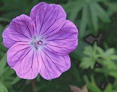 lila flower