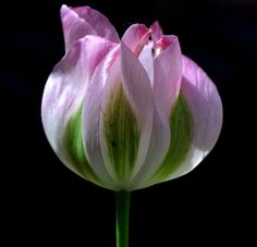 Viridiflora tulip